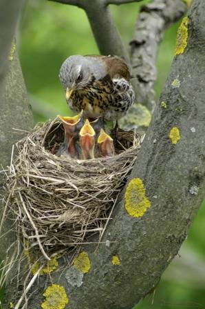 Fåglar i bo